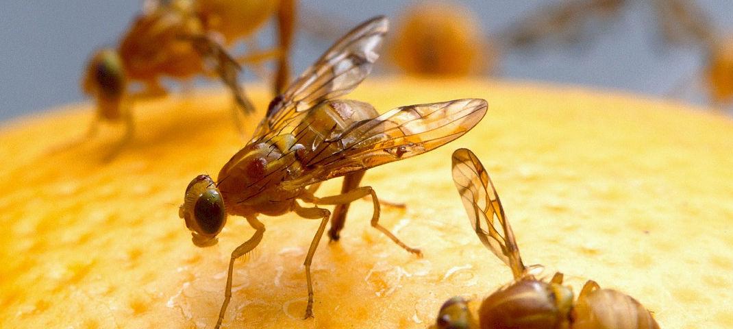 fruchtfliegen bek mpfen obstfliegen loswerden edinger m rkte. Black Bedroom Furniture Sets. Home Design Ideas