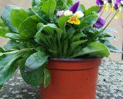 Frühlingstopf bei edinger kaufen
