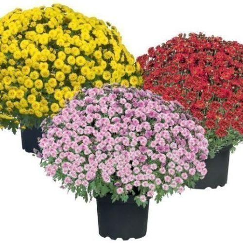 Edi ChrysanthemenBusch 3 verschieden