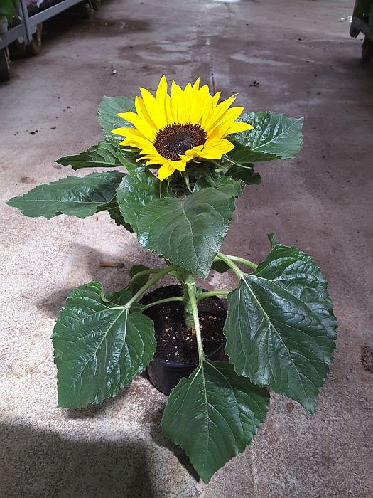 sonnenblumen kaufen edinger Lampertheim
