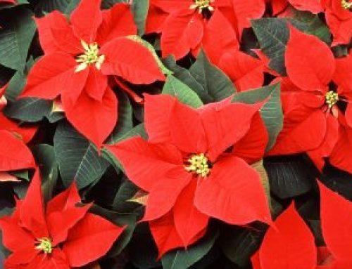 Pflegetipps Weihnachtsstern